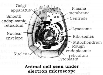 Animal Cell Diagram For Class 9 With Label