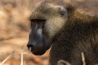 Dit is weer een baviaan, maar een andere subsoort. De beerbaviaan (Papio ursinus), de grootste bavianensoort.