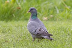 Stock Dove 120502 Columba oenas