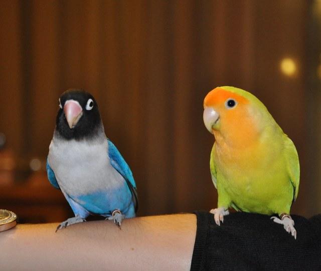 Pitchou Et Zorro Lesliechou Tags Bird Lovebird Oiseau Inseparable