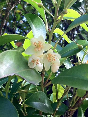 青山霊園の木の花(Flower of unknown tree at Aoyama cemetery)