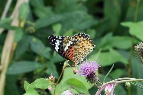 寺家ふるさとの森のツマグロヒョウモン♂(Butterfly, Jike Home Woods, Yokohama, Japan)