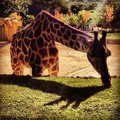 Jirafa en el zoo