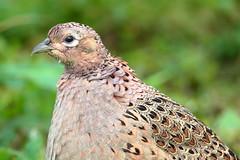 Female pheasant 3