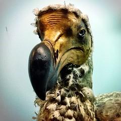 Natural History: Dodo