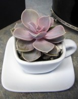 Succulent in Tea Cup