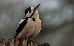 Greater spotted woodepecker