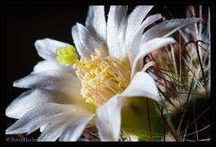 "Kaktusblüte • <a style=""font-size:0.8em;"" href=""http://www.flickr.com/photos/58574596@N06/8767430634/"" target=""_blank"">View on Flickr</a>"