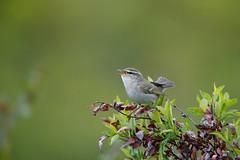Arctic Warbler | nordsångare | Phylloscopus borealis