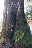 Photo:#23 The Giant Cryptomeria of Ooashi Shrine By