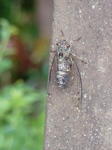青山霊園のツクツクホウシ(Cicada at Aoyama Cemetery, Tokyo, Japan)