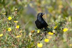 Rusty Blackbird | myrtrupial | Euphagus carolinus