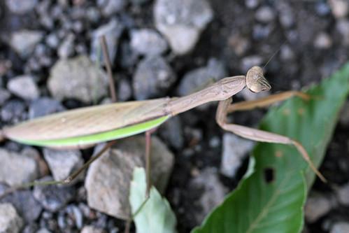 新治市民の森のオオカマキリ(Mantis at Niiharu Community Woods, Yokohama, Japan)