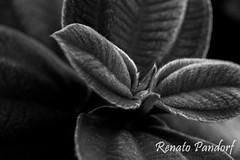 Silver linings on hairy leaves