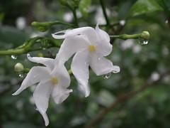 Tabernaemontana divaricata from Kerala 5049