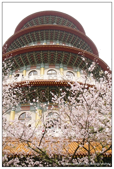 [旅遊.淡水]無極天元宮.櫻花綻放~賞櫻正是時候 @VIVIYU小世界
