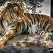 "Tiger • <a style=""font-size:0.8em;"" href=""http://www.flickr.com/photos/46573723@N03/8662570187/"" target=""_blank"">View on Flickr</a>"