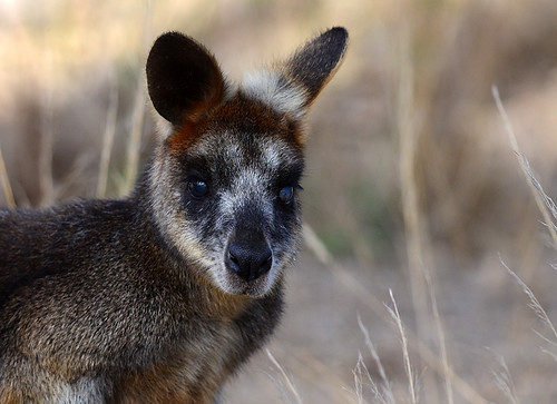 """Swamp Wallaby - You Yangs - Vic • <a style=""""font-size:0.8em;"""" href=""""http://www.flickr.com/photos/95790921@N07/8746060431/"""" target=""""_blank"""">View on Flickr</a>"""