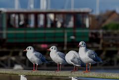 Four gulls and Hythe pier train