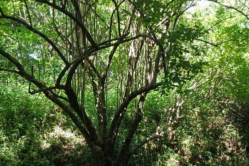 三保市民の森(尾根道の木)