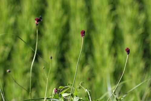 新治市民の森のワレモコウ(Rose at Niiharu Community Woods, Yokohama, Japan)