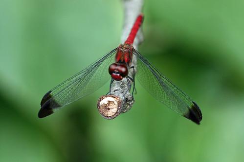 寺家ふるさとの森のコノシメトンボ(Dragonfly, Jike Home Woods, Yokohama, Japan)