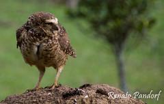 Owl: profile