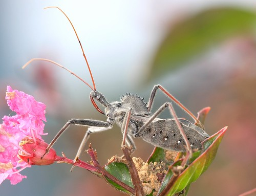 northcarolina claw femur arthropods assassinbug wheelbug... (Photo: DrPhotoMoto on Flickr)