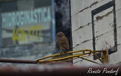 Urban vs Nature: sportsy owl