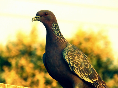The Golden Pigeon (Fabianni L. Ribeiro)