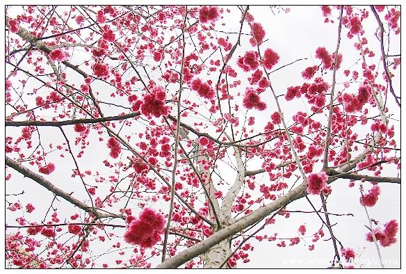 [旅遊.新北市]烏來老街&桂山電廠賞山櫻花 @VIVIYU小世界