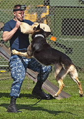 A military police working dog attacks.