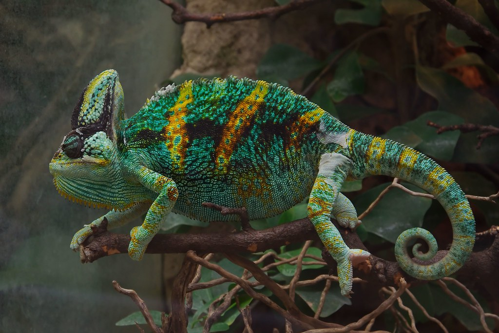 chameleon by marsupium photography, on Flickr