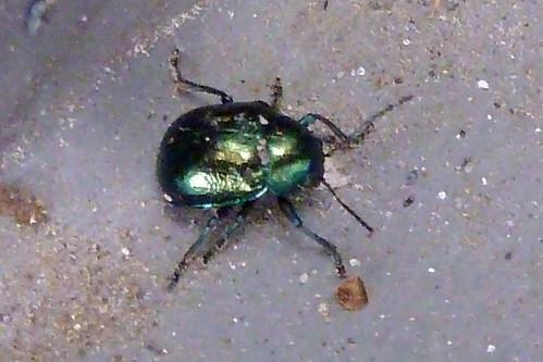 ダイコンハムシ(Leaf beetle at Yokohama, Japan)
