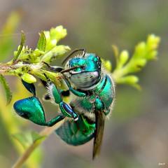 Green Orchid Bee (Euglossa dilemma)
