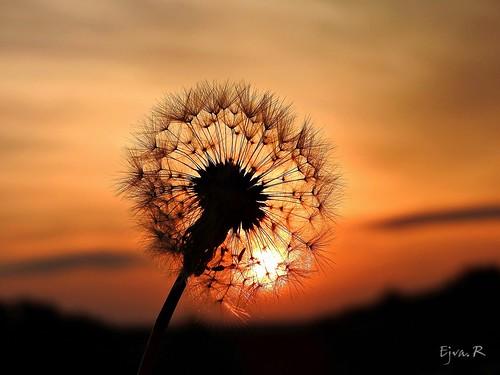 Sunrise Dandelion Napkelte Gyermekláncfű