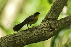 Fan-tailed Warbler - Mexico 12_001_S4E7277