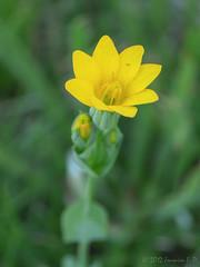 Flor (Blackstonia perfoliata)