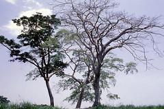 Milicia excelsa tree (Iroko) at IITA-Ibadan