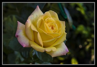Rose Rose I Love You-1=