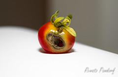 Rotten tomato (III)