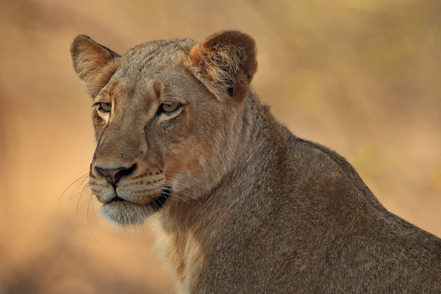 Timbavati Queen