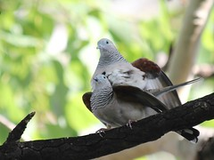 Peaceful Doves 6096