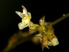 Tiny Orchid, Sigmatostalix adamsii