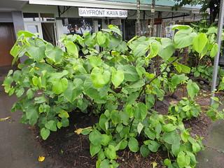 Kava plants outside Bayfront Kava Bar