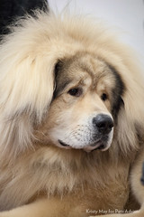 2013 Westminster Kennel Club Dog Show: Tibetan...