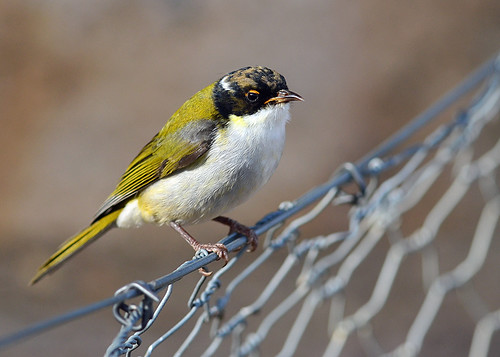 """White-naped Honeyeater - You Yangs - VIC • <a style=""""font-size:0.8em;"""" href=""""http://www.flickr.com/photos/95790921@N07/8746820600/"""" target=""""_blank"""">View on Flickr</a>"""