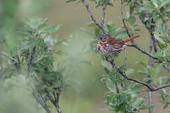 Red Fox Sparrow | rosträvsparv | Passerella iliaca