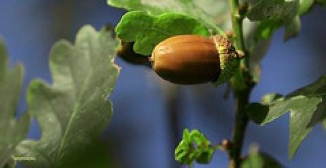 The Oak Nut