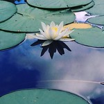"""Water lily. #waterlily #photooftheday #instamoment #awesomepicture #nature #flowers #summer #august #vacation #bromma #judarn #stockholm #wild #shockholm <a style=""""margin-left:10px; font-size:0.8em;"""" href=""""http://www.flickr.com/photos/131645797@N05/28587828562/"""" target=""""_blank"""">@flickr</a>"""